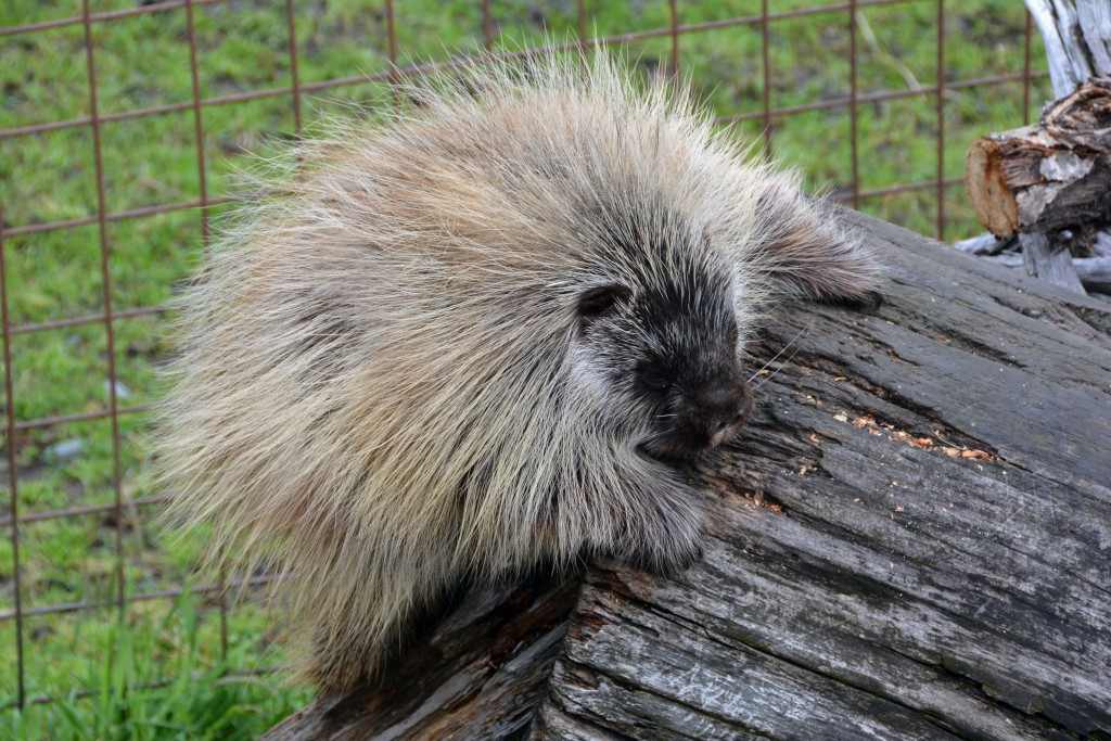 Porcupine at Anchorage Wildlife Conservation Center
