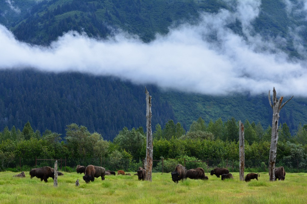 Herd of Alaska Wood Bison