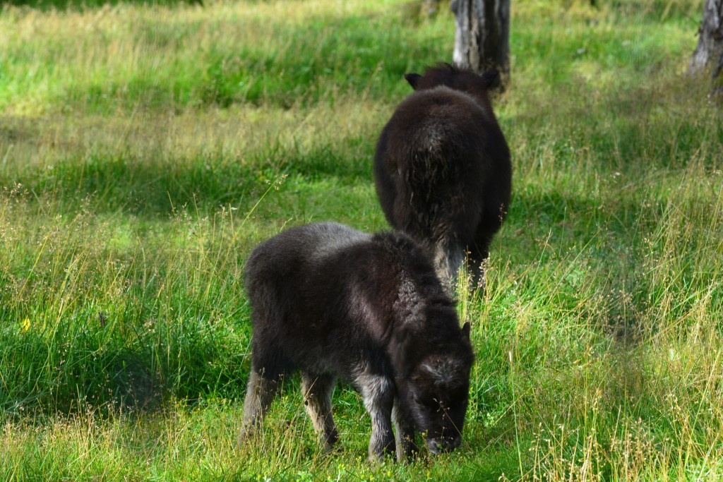 Young Juvenile Alaska Wood Bison