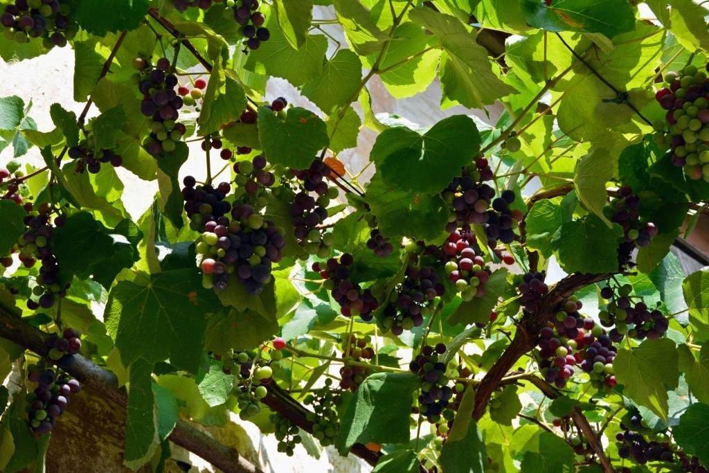 Grapes in Brda