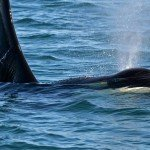 San Juan Island Whale Watching: Orcas in the Wild