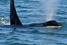 Orcas in the Wild on San Juan Island