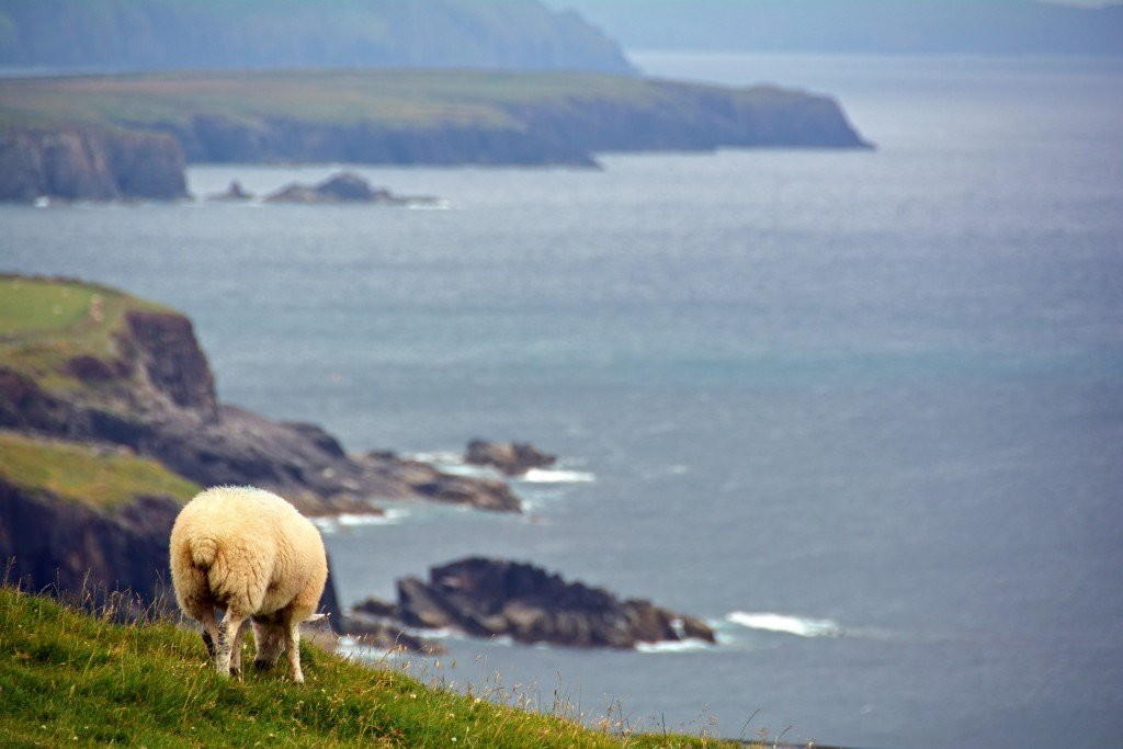 Sheep on Ireland cliff