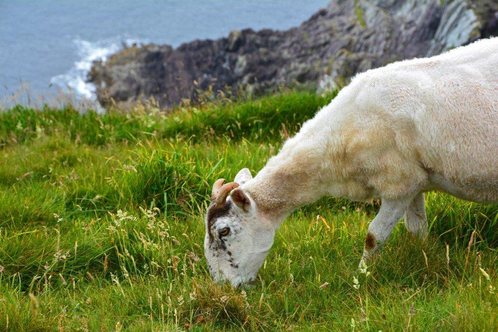 Sheep on grassy ocean cliff