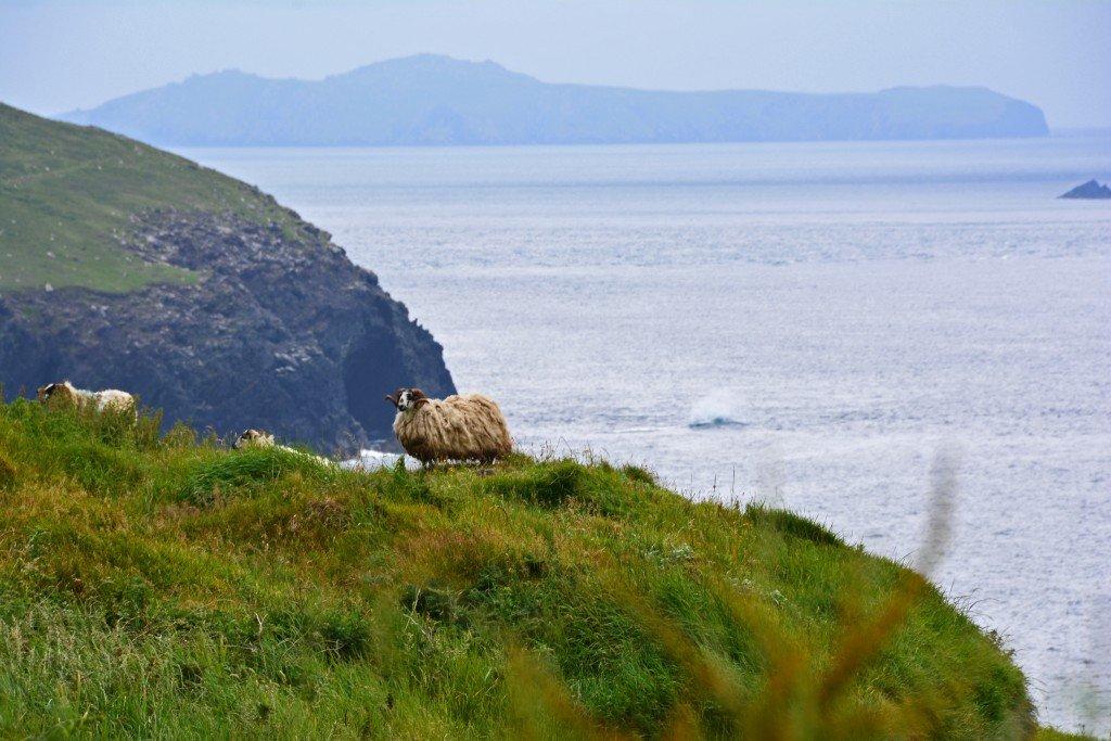 Ram on ocean cliff Ireland