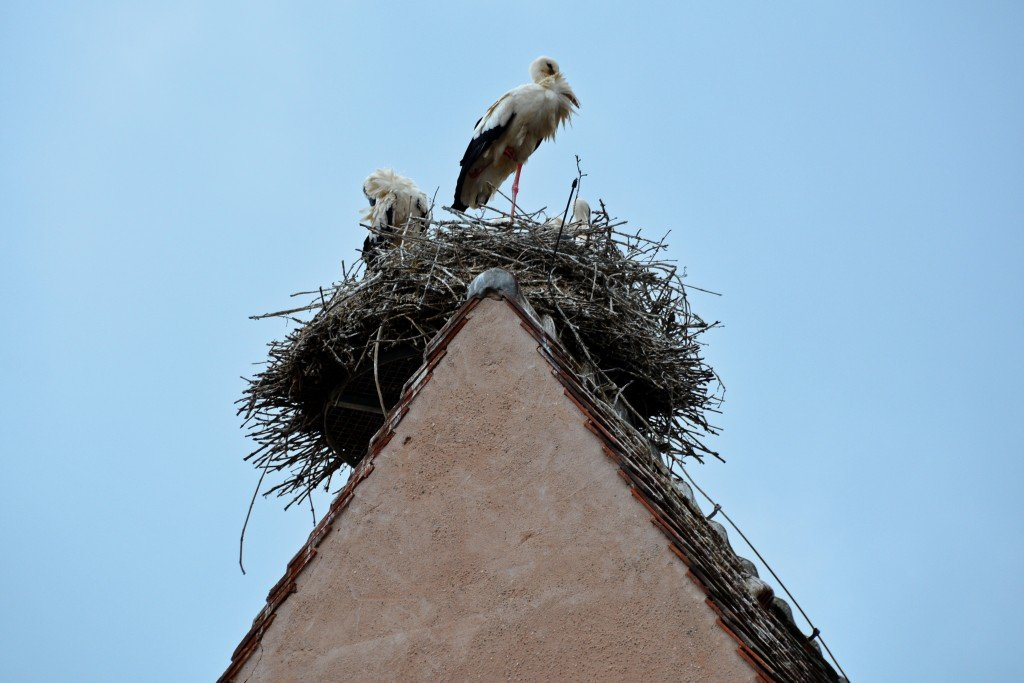 Eguisheim Storks
