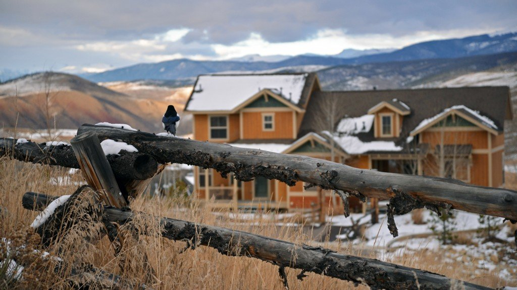 Black billed magpie Colorado