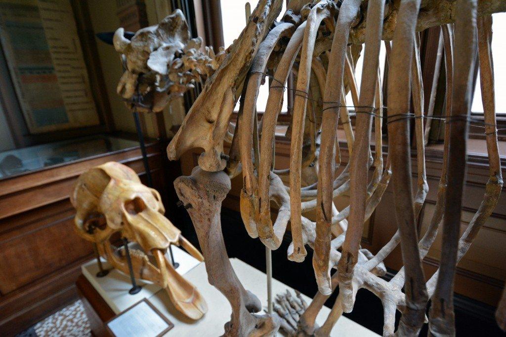 Animal skeleton Teylers Museum Haarlem Netherlands