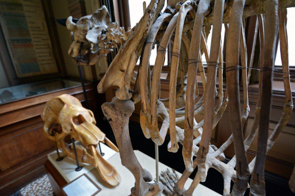 Animal skeleton Teylers Museum Haarlem Netherlands