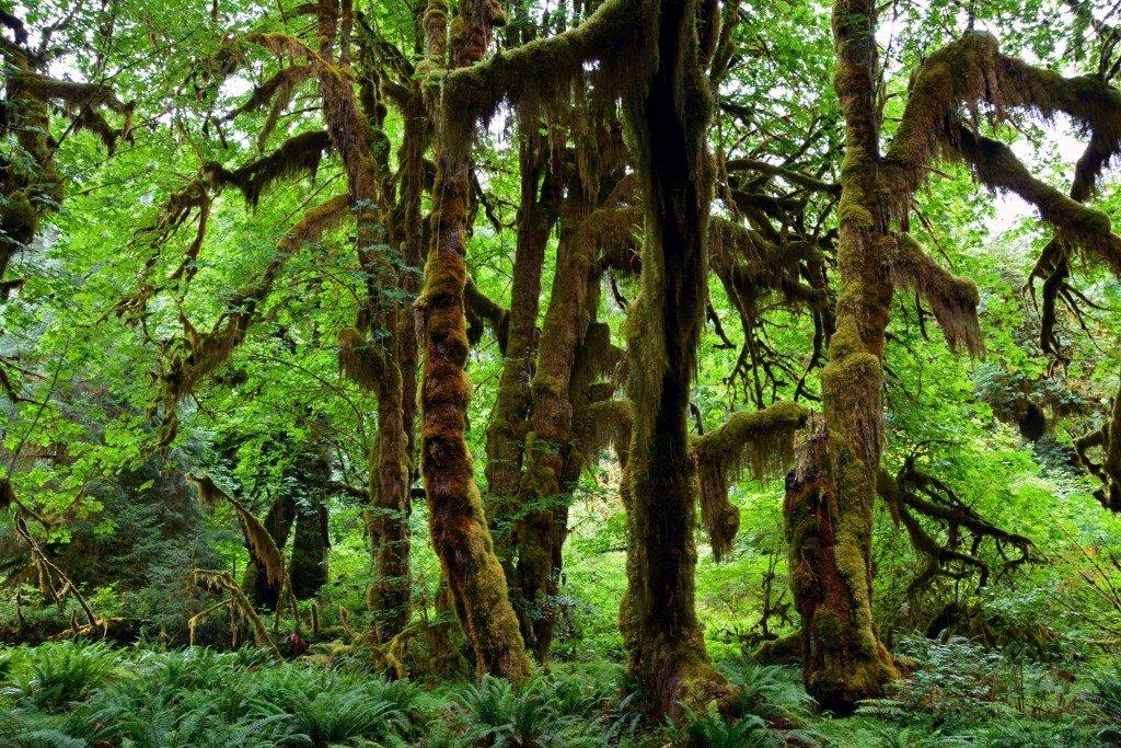 Hoh Rain Forest (26)