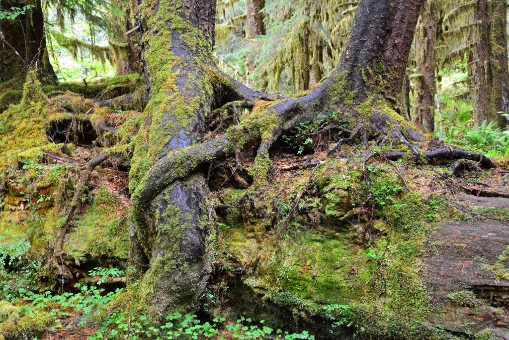 Hoh Rain Forest (28)
