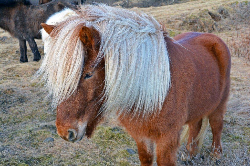 Icelandic Horse Golden Circle Iceland