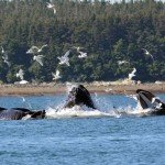 Experience of a Lifetime- Whale Watching in Juneau