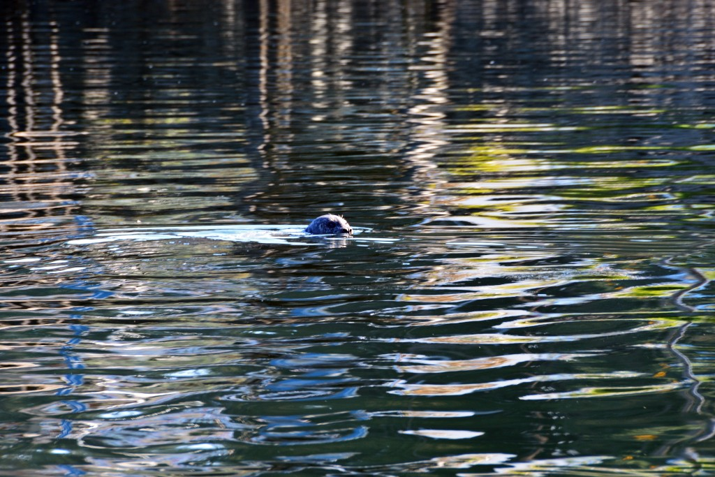 Seal in Juneau
