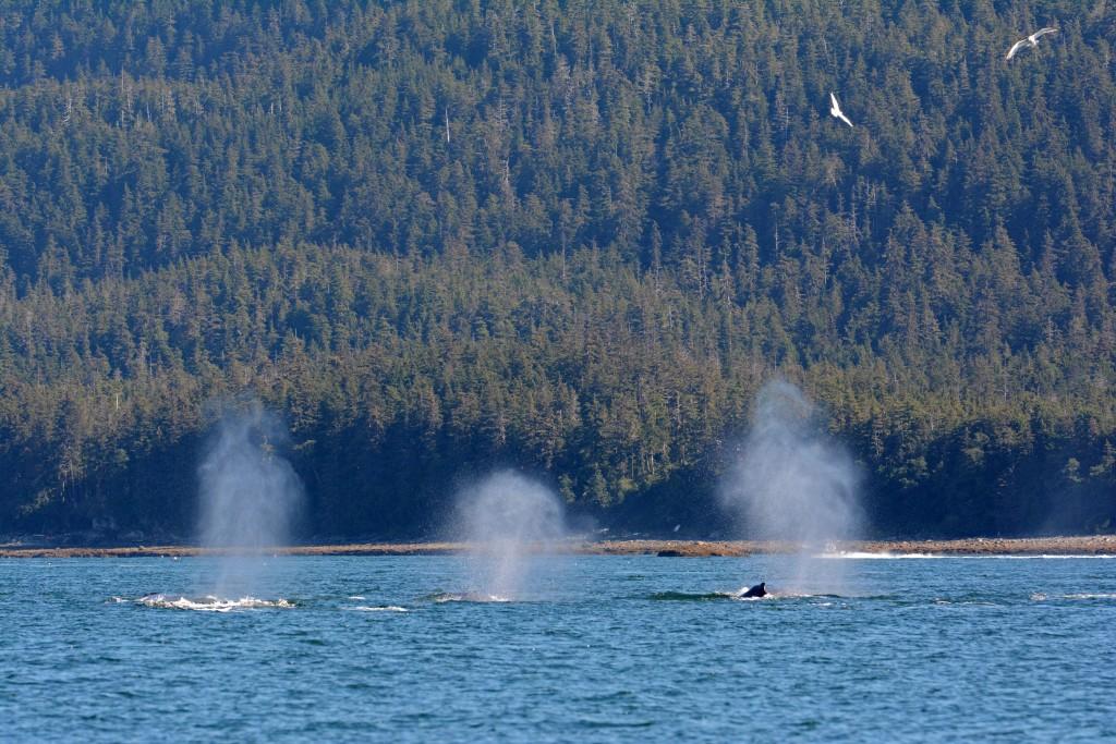 Juneau Whales