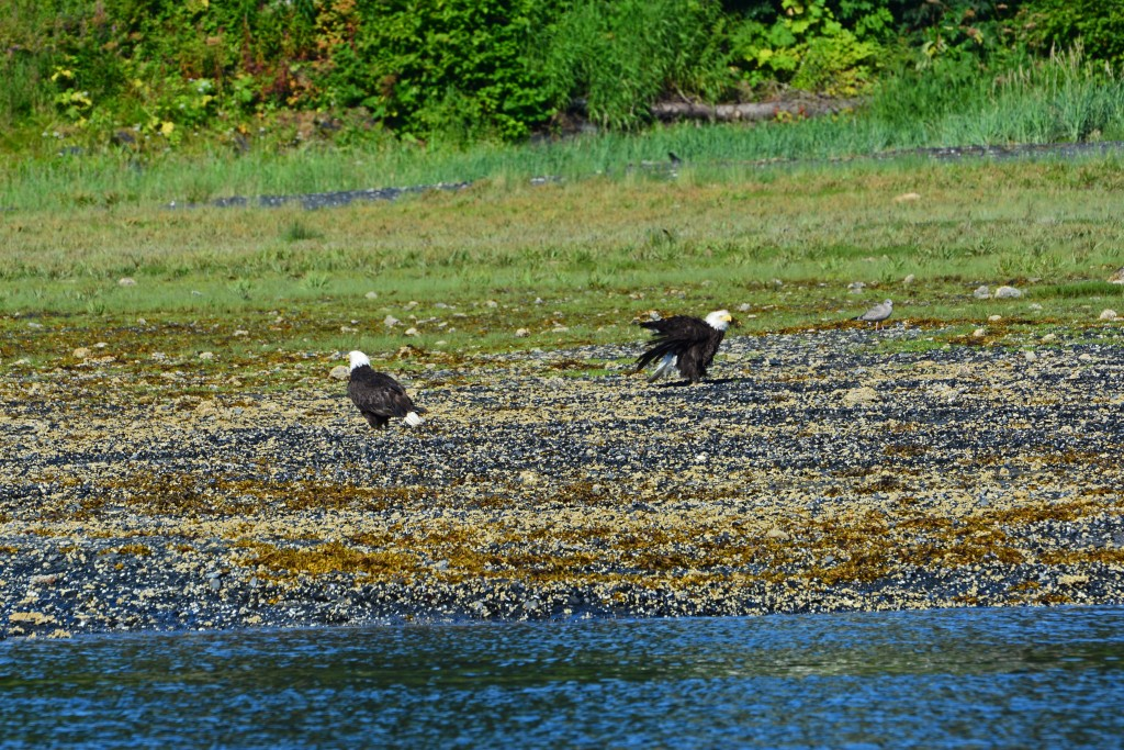Bald Eagles in Juneau