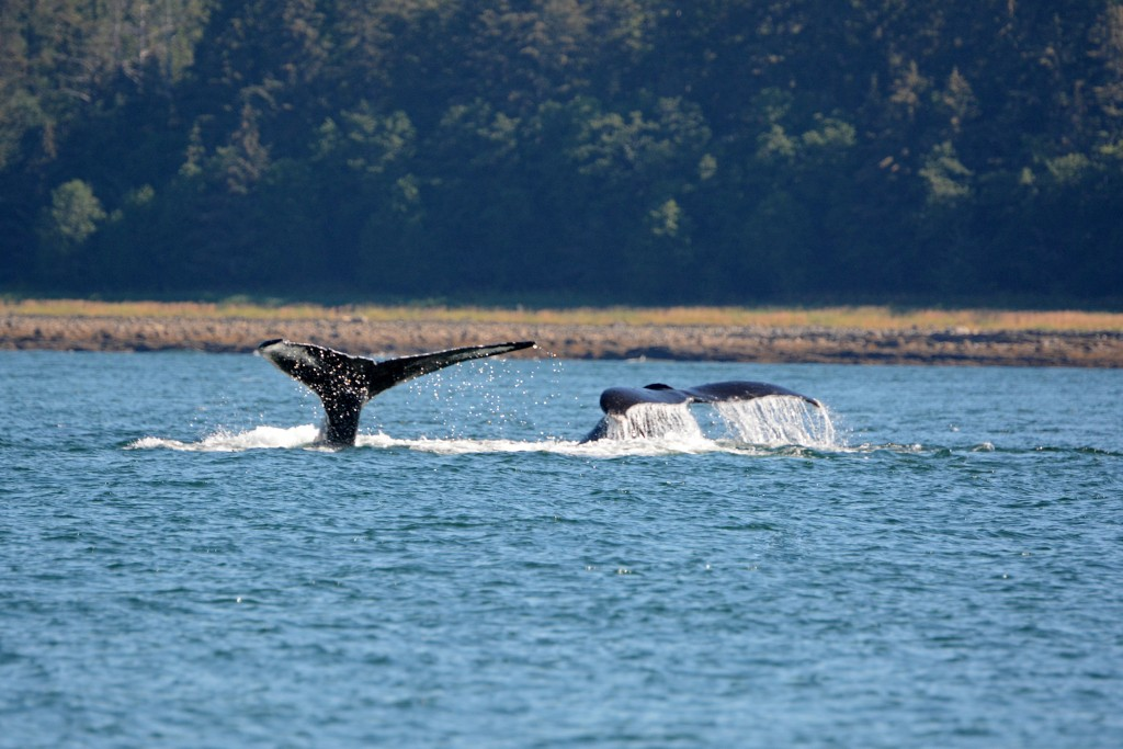 Whalewatching in Alaska