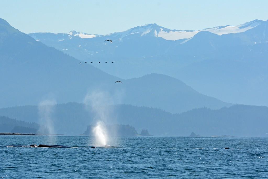 Humpback Whale Spouts Whale Watching Juneau Alaska