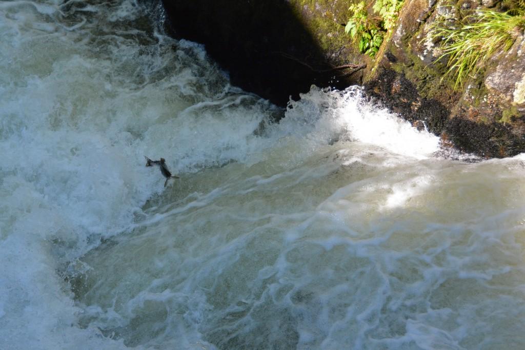 Salmon jump Ketchikan Alaska
