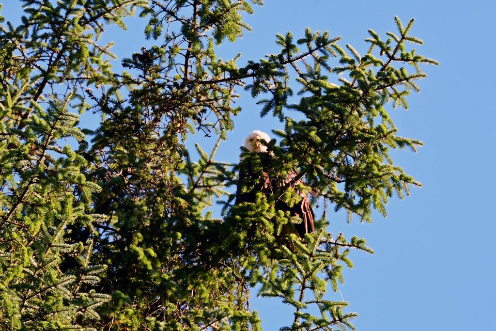Bald eagle Ketchikan