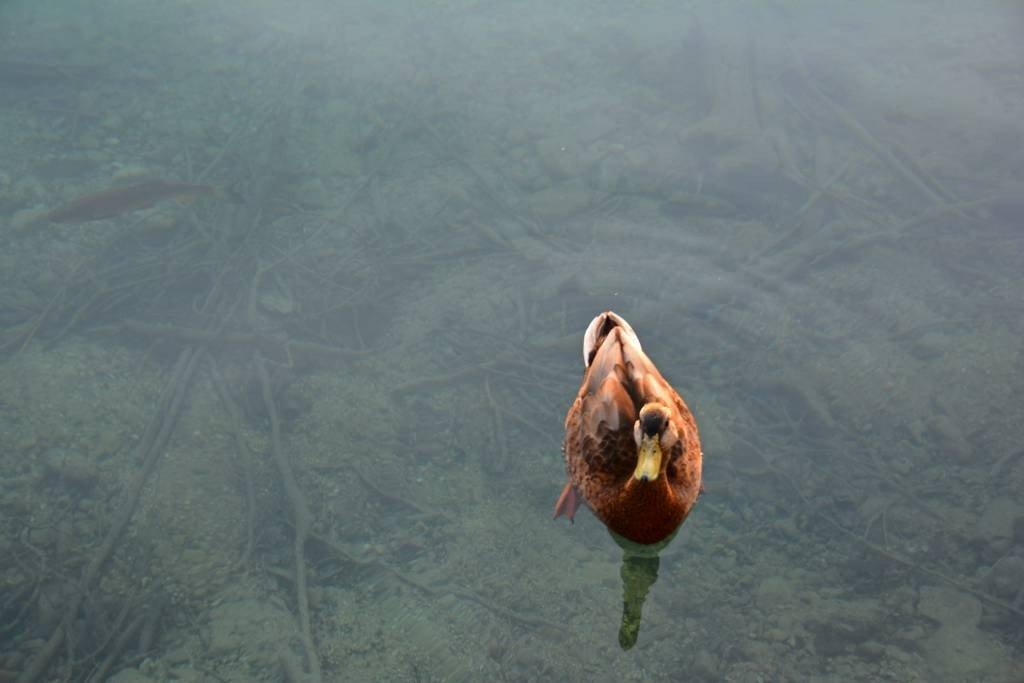 Duck in clear water