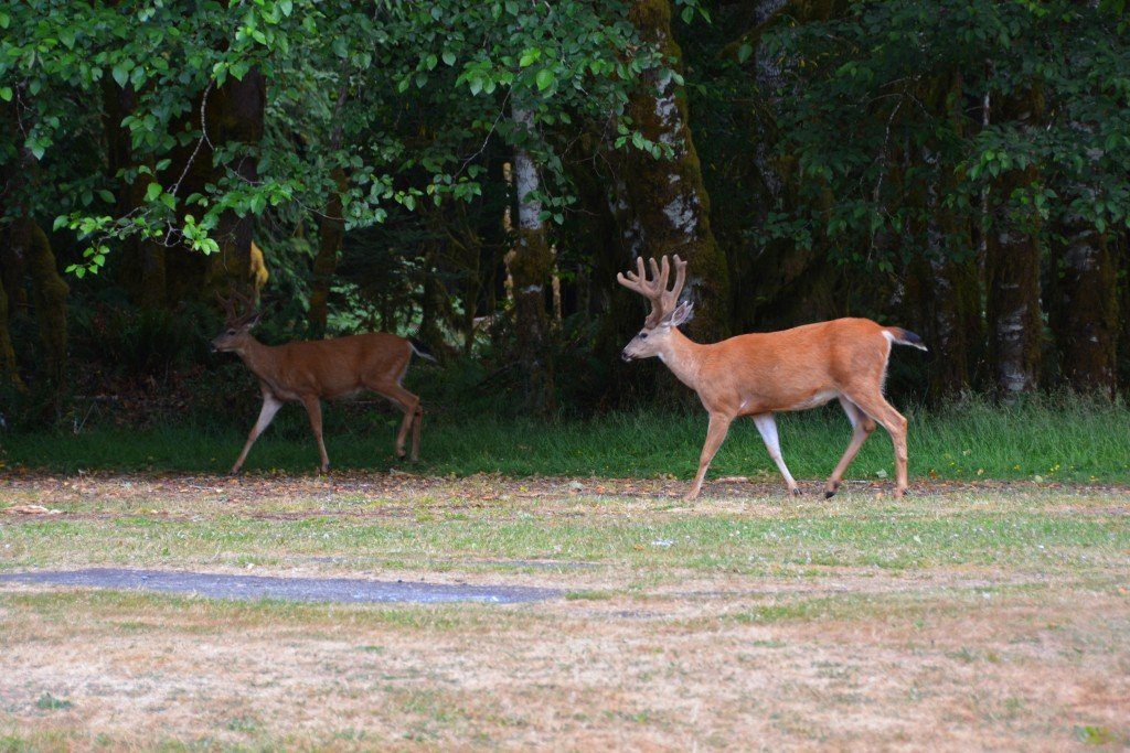 Olympic National Park Deer