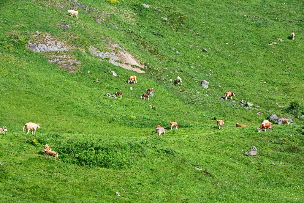 Cows on a Swiss Mountain
