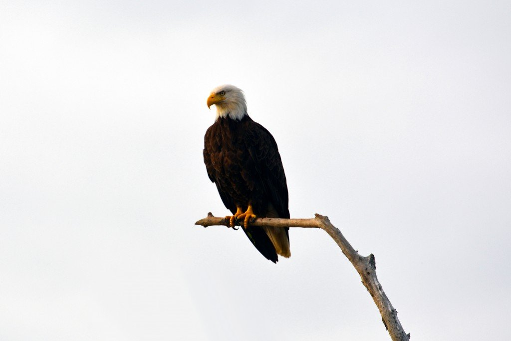 Bald eagle perched on dead branch