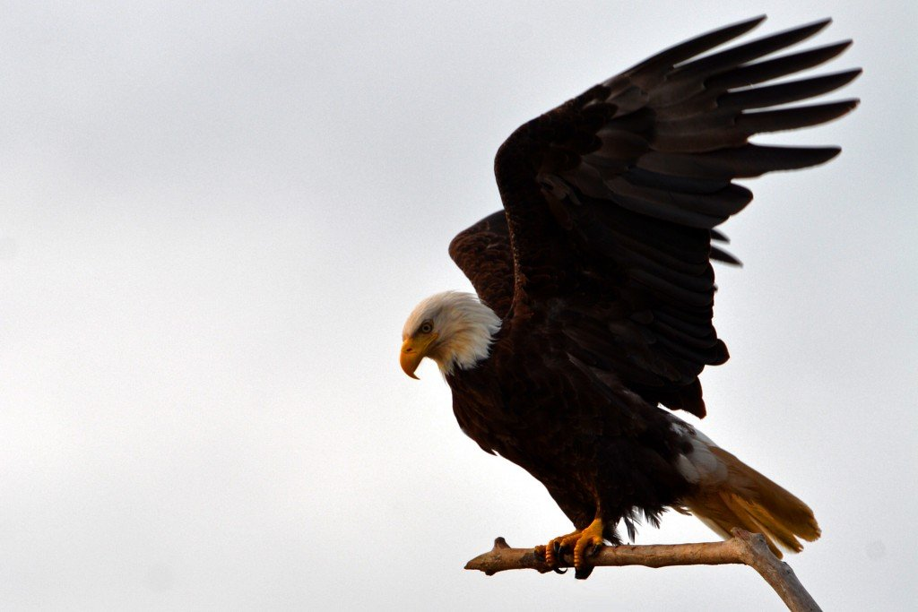 Bald Eagle flapping its wings on a perch