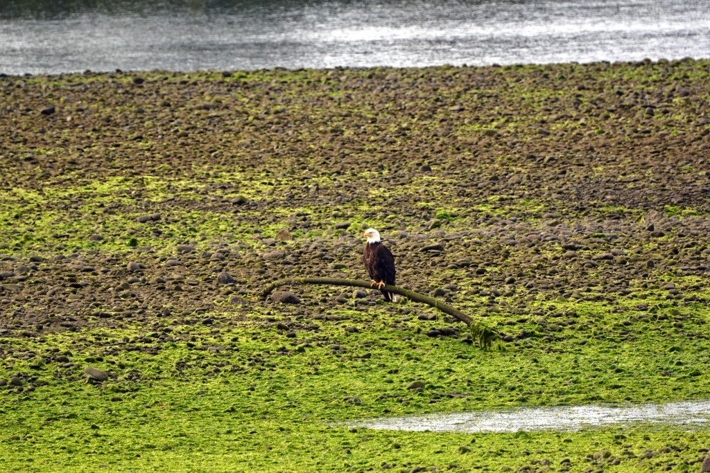 Bald Eagle Olympic Peninsula Washington