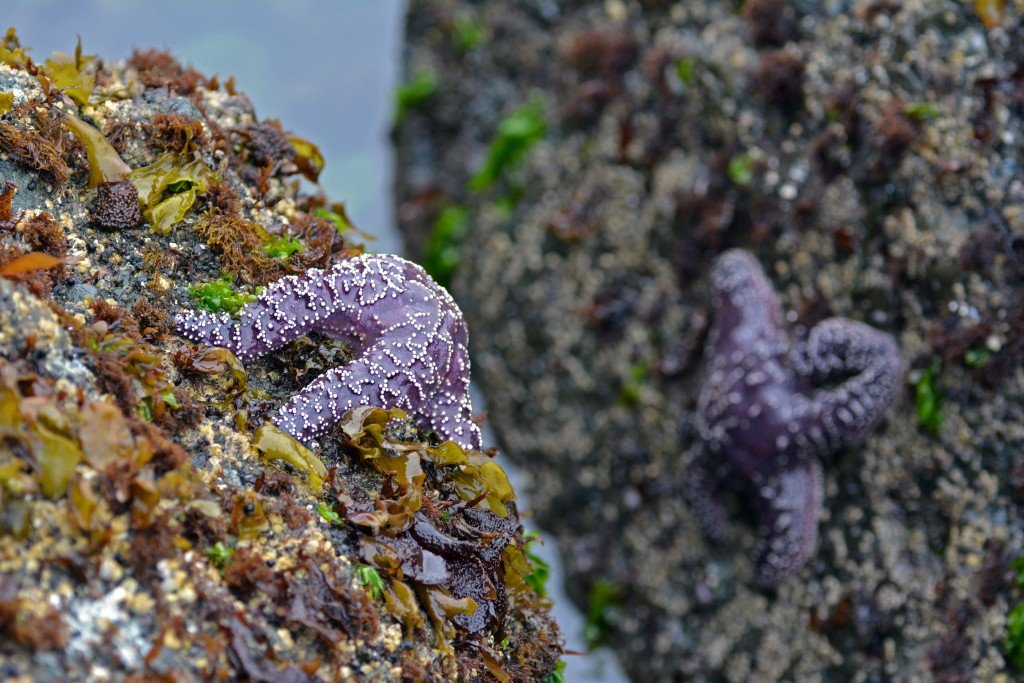 Purple starfish cling to rocks