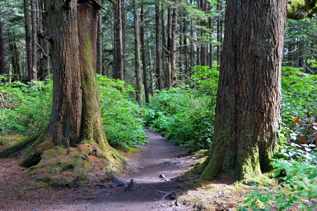 Big forest trees Second Beach Washington