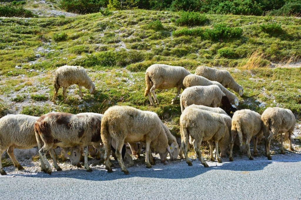Sheep along Vrsic Pass - Slovenia